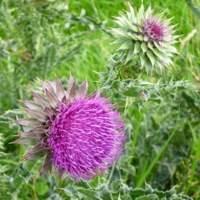 Counselling images: purple thistle