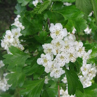 Counselling images: hawthorn flowers